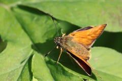 Взгляд макроса живой бабочки на зеленой предпосылке лист Стоковые Изображения RF