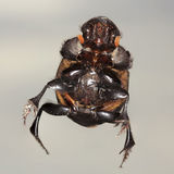 Взгляд макроса жука скарабея Стоковые Изображения RF