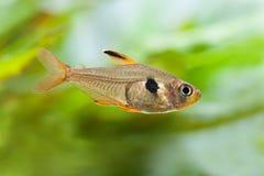 Взгляд макроса рыб аквариума румяный Tetra Стоковые Изображения RF