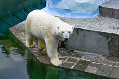 взгляд медведя приполюсный Стоковая Фотография RF