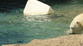 взгляд медведя приполюсный сток-видео