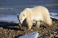 взгляд медведя приполюсный Стоковое Изображение RF