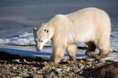взгляд медведя приполюсный Стоковые Фотографии RF