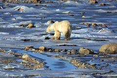 взгляд медведя приполюсный стоковое изображение