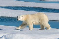 взгляд медведя приполюсный Стоковые Изображения RF