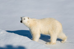 взгляд медведя приполюсный Стоковые Изображения