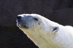 взгляд медведя приполюсный Стоковые Фото