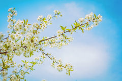 Взгляд на ветви вишневого дерева на цветении с небом Стоковая Фотография