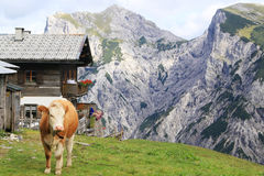 Взгляд на горной вершине с коровой на переднем плане в горных вершинах Стоковые Изображения