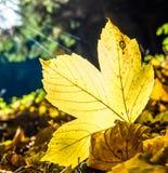 Взгляд на желтых лист каштана в ландшафте осени Стоковое Изображение RF