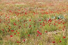 Взгляд на красном поле маков Стоковая Фотография