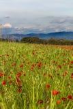 Взгляд на красном поле маков Стоковые Фотографии RF