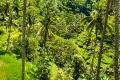 Взгляд над полями и кокосовыми пальмами риса террасы Стоковое фото RF