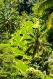 Взгляд над полями и кокосовыми пальмами риса террасы Стоковое Изображение