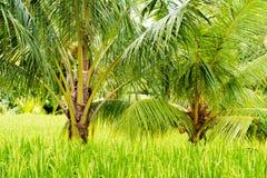 Взгляд над полями и кокосовыми пальмами риса Стоковые Изображения RF