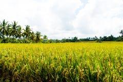Взгляд над полями и кокосовыми пальмами риса Стоковое Фото