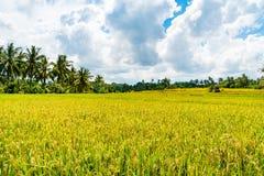 Взгляд над полями и кокосовыми пальмами риса Стоковая Фотография RF