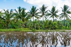 Взгляд над полями и кокосовыми пальмами риса Стоковые Изображения
