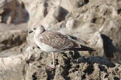 Взгляд на чайке Стоковые Изображения RF