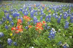 Взгляд низкого угла индийского Paintbrush и Bluebonnets в fie Техаса стоковое фото rf