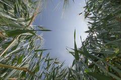 Взгляд низкого угла поля ячменя Стоковые Фотографии RF