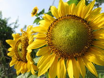 Взгляд низкого угла цветка солнца Стоковые Фотографии RF