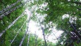 Взгляд от земли высоких деревьев в лесе акции видеоматериалы