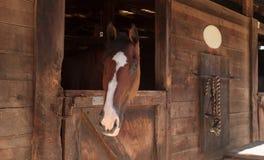Взгляд лошади залива Брайна вне конюшня в амбаре Стоковая Фотография