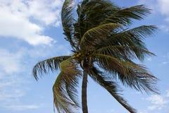 Дерево кокоса Стоковое Изображение