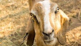 Взгляд переднего подшипникового щита козы с коричневой соломой позади Стоковое Изображение RF