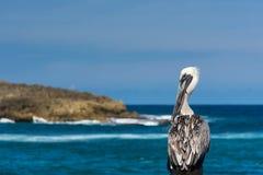 Взгляд пеликана Стоковое Изображение RF