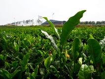 Взгляд поля зеленого чая стоковое фото rf