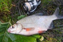 Взгляд пресноводного серебряного леща или белых рыб brem на черных рыбах Стоковые Фотографии RF