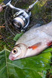 Взгляд пресноводного серебряного леща или белых рыб brem на черных рыбах Стоковая Фотография