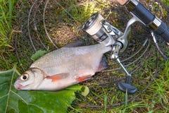 Взгляд пресноводного серебряного леща или белых рыб brem на черных рыбах Стоковые Изображения RF