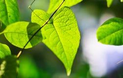 Взгляд природы крупного плана зеленых лист в саде на лете под солнечным светом Естественный ландшафт зеленых растений используя к Стоковые Изображения RF