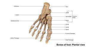 Взгляд плантатора ноги Стоковое Изображение RF