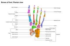 Взгляд плантатора ноги Стоковые Фотографии RF