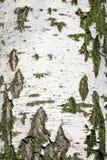 взгляд плотного строения березы расшивы Стоковые Изображения RF