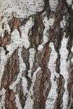 взгляд плотного строения березы расшивы стоковое фото