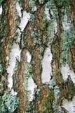 взгляд плотного строения березы расшивы Стоковое Изображение RF