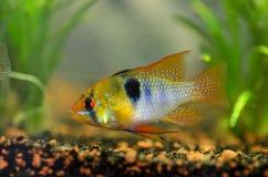 Взгляд рыб Ramirezi Стоковые Изображения RF