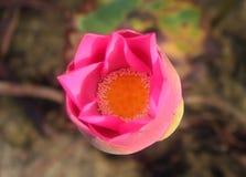 Взгляд сверху бутона лотоса цветения Стоковая Фотография