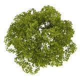 Взгляд сверху дерева американского бука изолированного на белизне иллюстрация штока