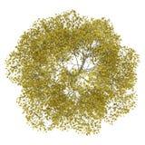 Взгляд сверху дерева американского бука падения изолированного на белизне иллюстрация штока