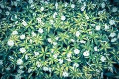 Взгляд сверху зеленой травы с малой предпосылкой белых цветков Стоковое Изображение RF