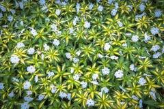Взгляд сверху зеленой травы с малой предпосылкой белых цветков Стоковое Изображение