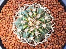 Взгляд сверху кактуса Стоковое Фото