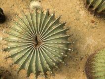 Взгляд сверху кактуса Стоковые Изображения RF