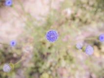 Взгляд сверху маленького фиолетового цветка травы Стоковое Изображение RF